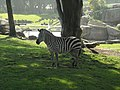 Zebra @ San Francisco Zoo (4437129778).jpg