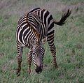 Zebra Tsavo East Kenya - panoramio.jpg