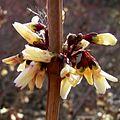 Zweizeilige Abeliophyllum Blüte weiss Abeliophyllum distichum 04.jpg