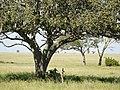 """""""Kigelia africana"""", leverworstboom, worstenboom (6693822091).jpg"""