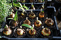 'Amaryllis' Caprice and Dancing Queen bulbs Capel Manor College Gardens Enfield London England.jpg