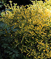 'Euonymus' - Emerald 'n' Gold, Golden Spindle, Gibberd Garden Essex England.JPG