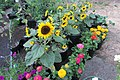 'Orange Hobbit' dwarf sunflower IMG 2210.jpg