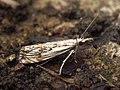 (1316) Catoptria falsella (5970169491).jpg