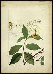 (Anartia olivacea)