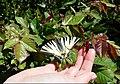 Бабочка Подалирий. Энтомология.jpg