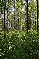 Березово-дубовий ліс із рододендроновим підліском.jpg