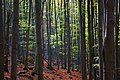 """Буковий ліс у НПП """"Зачарований край"""".jpg"""