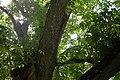 Пробковое дерево - panoramio.jpg