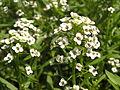 Растения в Седово 002.JPG