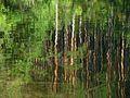 Сосны отражаются в воде - panoramio.jpg