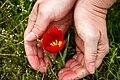 Сохраним тюльпан — гордость Калмыкии!.jpg