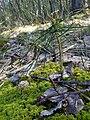 Сіянець сосни звичайної (Pinus sylvestris) у заказнику Михайловичі.jpg