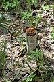 Теліженецький ліс Березова губка DSC 0046.jpg