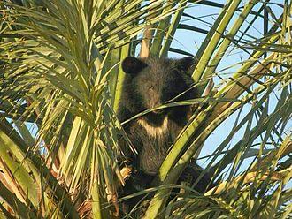 Asian black bear - 180 px