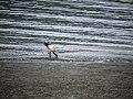 埃及聖䴉 淡水河紅樹林自然保留區 ID:17753 Youngson Ho 145698.jpg