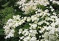 接骨木屬 Sambucus nigra v viridis -哥本哈根大學植物園 Copenhagen University Botanical Garden- (36121245454).jpg