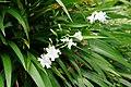 日本鳶尾 Iris japonica - panoramio.jpg