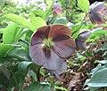 東方菟葵 Helleborus orientalis Slaty Blue Strain -比利時 Leuven Botanical Garden, Belgium- (9261992322).jpg