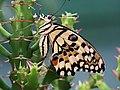 無尾鳳蝶 Papilio demoleus - panoramio.jpg