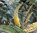 狹葉十大功勞 Mahonia fortunei -香港動植物公園 Hong Kong Botanical Garden- (9216100162).jpg