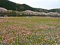 田んぼをつかった花畑 Flower Garden Using Rice Field, april 2009 (14755597089).jpg