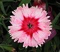 石竹 Dianthus chinensis Strawberry Parfait -香港荔枝角公園 Lai Chi Kok Park, Hong Kong- (9447927793).jpg