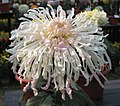 菊花-美女 Chrysanthemum morifolium 'Beauty' -中山小欖菊花會 Xiaolan Chrysanthemum Show, China- (12064621735).jpg