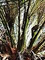 軟葉刺葵 Phoenix roebelenii 20201013101916 07.jpg