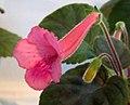 迷你岩桐 Sinningia Nora's Passion -香港北區花鳥蟲魚展 North District Flower Show, Hong Kong- (16110420202).jpg