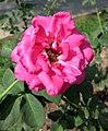 香水月季 Rosa Hume's Blush -深圳人民公園 Shenzhen Renmin Park, China- (32797377396).jpg