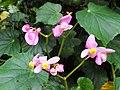 鴨腳秋海棠 Begonia formosana - panoramio - lienyuan lee.jpg
