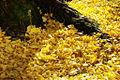 黄金色の絨毯 Golden Carpet (8199054216).jpg