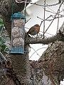 -2019-01-04 Robin (Erithacus rubecula), Trimingham, Norfolk (2).JPG