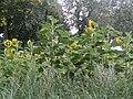 -2019-08-15 Sunflowers, Ingworth, Norfolk (2).JPG