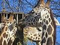- ITALY - Giraffa (Giraffa camelopardalis) - Parco Natura Viva - Verona 3.jpg