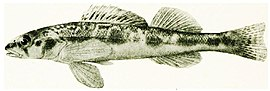 ... The fishes of Illinois (1908) (14801632653).jpg