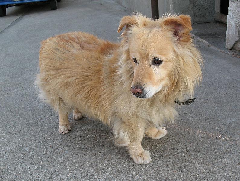 Mixed Breed Dog Shortbrown