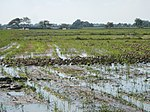 03306jfBirds Sanctuary Ducks Wetland Marshes Rice Fields Candaba Pampangafvf 08.JPG