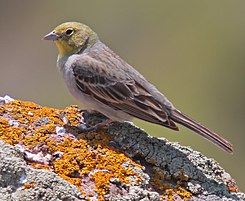 090508-cinereous-bunting-at-Petrified-Forest.jpg
