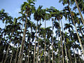 10. Arecanut Palm at the Plantation.jpg