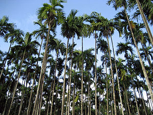 Areca nut production in India - Arecanut plantation in Karnataka