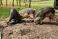 100328 3Monatige-Wollschweine.jpg