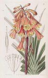 18 Blandfordia punicea
