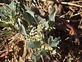 1 Atriplex muelleri fruit and foliage.jpg