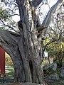 2000-летний можжевельник на Мысе Сарыч.jpg