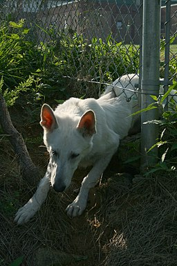 2008-07-15 White GSD pup climbing under fence
