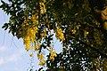2010-05-25 (4) Goldregen, Laburnum × watereri.jpg