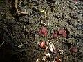 2011-09-30 Parascutellinia violacea (Velen.) Svrcek 208354.jpg
