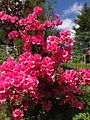 2014-05-17 10 25 21 Pink-flowered Azaleas in front of an old house on Spruce Street (Mercer County Route 613) in Ewing, New Jersey.JPG
